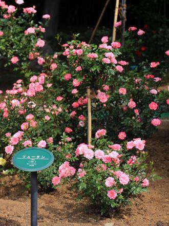 リュータンのピンクのバラ