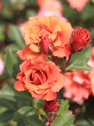 チョコフィオーレの赤いバラ