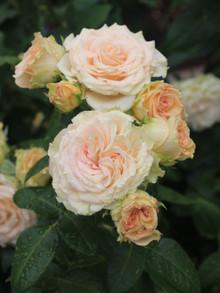 エメラルドアイルのピンクの花