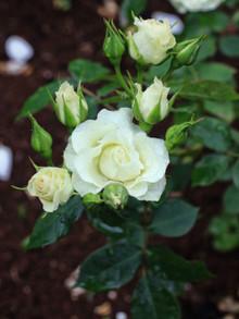 緑光の薄緑色の花
