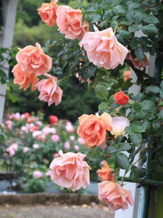 鮮やかなオレンジ色の大輪を咲かせるつるばら「ロイヤルサンセット」