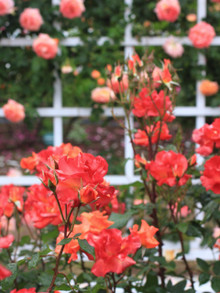 オレンジ色のバラ「プリンセスミチコ」