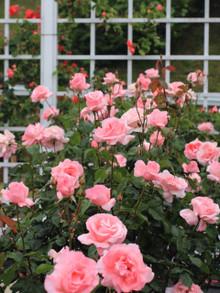ピンク色のバラ「クィーンエリザベス」