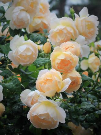 花首が細いバラ「コンテ デ シャンパーニュ」