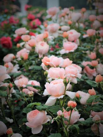 直立型のバラ「クィーン オブ スウェーデン」