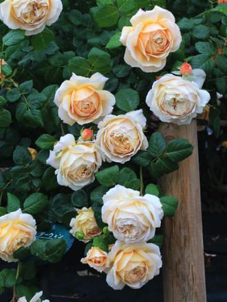 黄色ベースのバラ「チャールズ・ダーウィン」