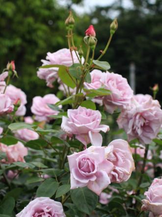 青みがかったバラ「ブルームーン」