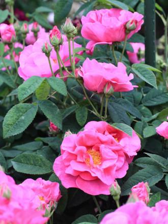 香りが強い濃いピンクのバラ「ロサ ガリカ オキフィナリス」