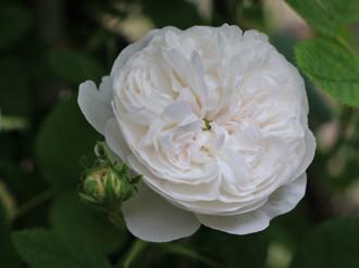 ピュアホワイトなカップ咲きのバラ「マダム アルディー」