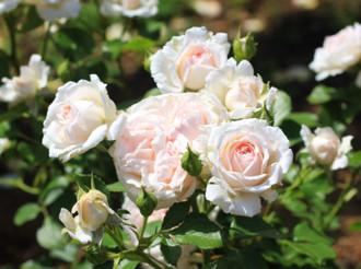 薄いピンク色のバラ「いわての春」