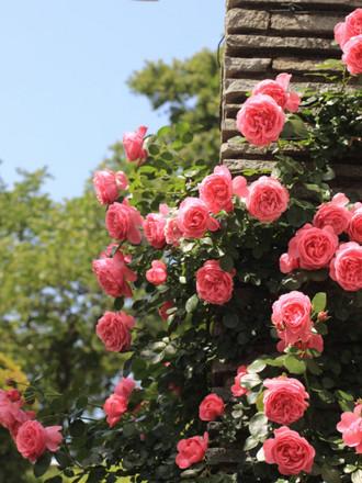 濃いピンクのバラ「レオナルド ダ ビンチ」