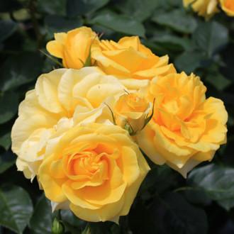 黄色いバラ「伊豆の踊子」
