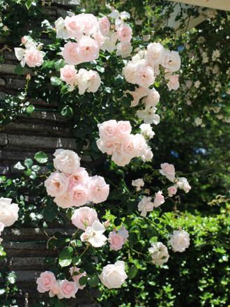 薄いピンクのつるバラ「ニュードーン」