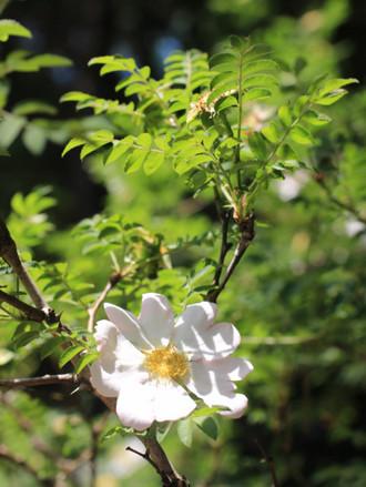 サンショウバラの白い花