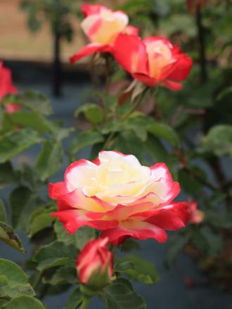 クリーム色に赤い縁のバラ「デイライト」