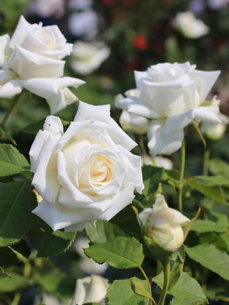 白いバラ「ヨハネ パウロ 2世」
