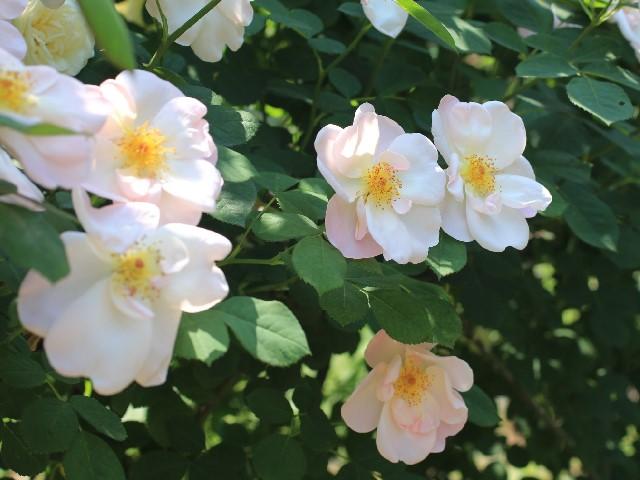 生田緑地ばら苑 公式ブログ