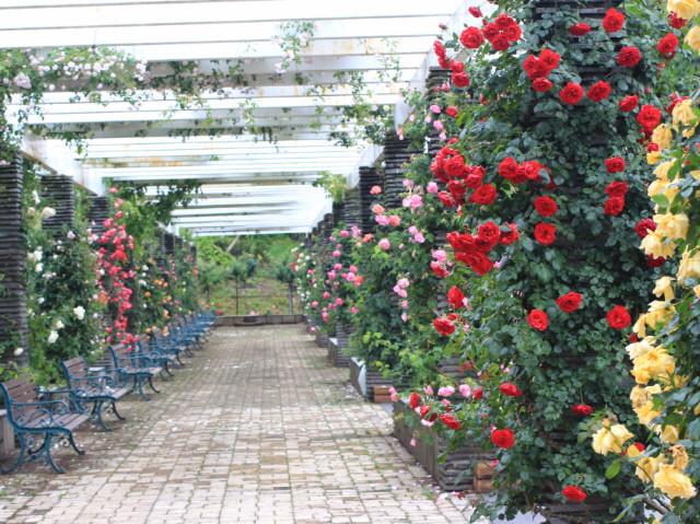 現在のパーゴラの様子。つるバラが色とりどりに