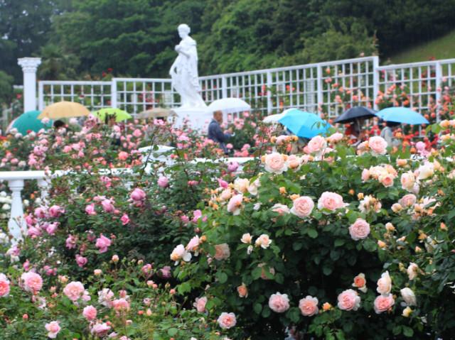 雨のばら苑