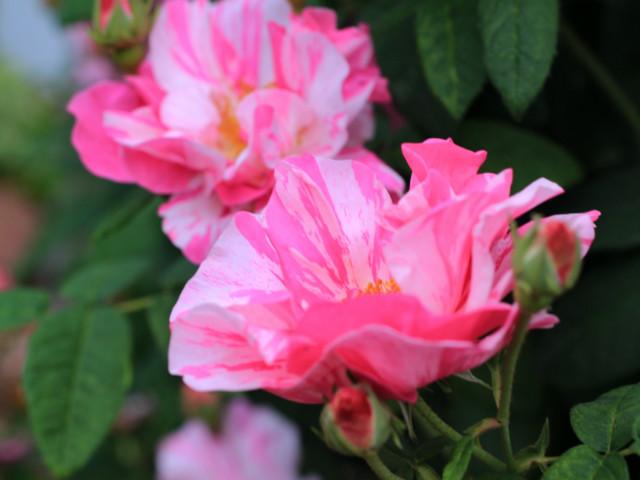 ピンクの斑入りのバラ「ロサ ムンディ」