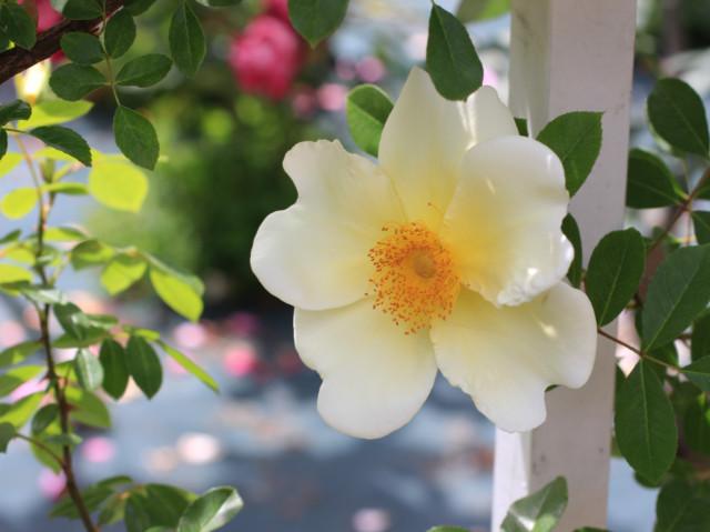 薄黄色の一重咲きのバラ「マーメイド」